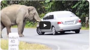 Elefant mot bil